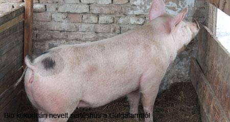 Bio kukoricán nevelt sertéshús a Galgafarmtól